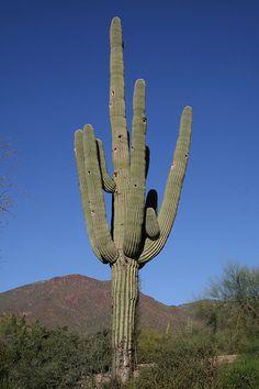 Saguaro Cactus (Carnegiea gigantae)