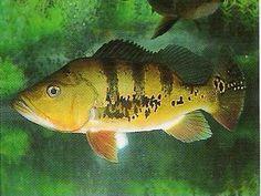 Peixe Tucunaré Peixe Tucunaré