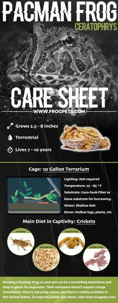 Pacman Frog Infographic - Anita Smith Home Leopard Gecko Terrarium, Snake Terrarium, Turtle Terrarium, Fish Tank Terrarium, Venus Fly Trap Terrarium, Fairy Terrarium, Mini Terrarium, Airplant Terrarium, Terrarium Table