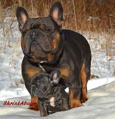 French Bulldog Photos, French Bulldog Pictures, and Frenchie Images Cute Baby Animals, Animals And Pets, Pet Dogs, Dog Cat, Doggies, Cute Puppies, Dogs And Puppies, French Bulldog Pictures, French Bulldog Puppies