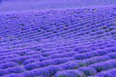 Lavendar field, Provence, France