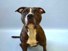 💔💔💔 LONDON CAME IN WITH ITALIA 💔💔💔 MURDERED 9/12/16 Manhattan Center My name is ITALIA. My Animal ID # is A1088954. I am a female br brindle and white am pit bull ter mix. The shelter thinks I am about 5 YEARS old. I came in the shelter as a STRAY on 09/07/2016 from NY 10029, owner surrender reason stated was STRAY. I came in with Group/Litter #K16-073279.
