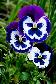 Blue and White Pansies