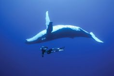 Diving With Whales,Tonga  http://www.knstrct.com/travel-blog/2014/2/27/bucket-list-1-dive-with-whales-in-the-kingdom-of-tonga