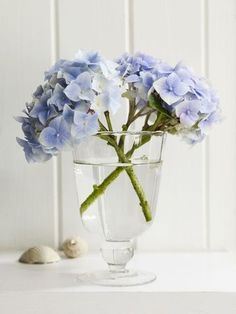 Hydrangea simplicity