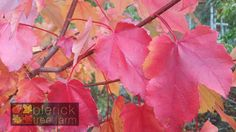 Acer rubrum – October Glory – Purchase Bare Rooted Trees Online