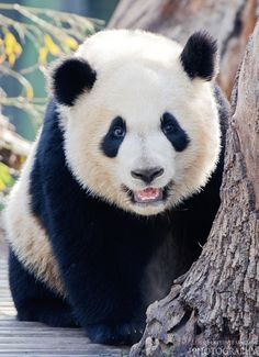 Panda. by Luis  de la Fuente Sánchez on 500px
