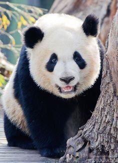 Panda. by Luis  de la Fuente Sánchez on 500px