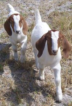 Florida-boer-goat Breeders Directory and about Boer meat goat farming and all about Boer goat breeders and raising Boer goats Farm Animals, Animals And Pets, Cute Animals, Cabras Boer, Goat Feeder, Nubian Goat, Boer Goats, Cute Goats, Sheep And Lamb