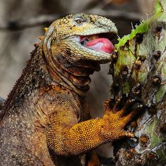 Photograph by @mattiasklumofficial for @natgeo. A Galapagos land iguana having a spiny meal on Isabela Island, Galapagos.