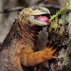 Photograph by @mattiasklumofficial for @natgeo. A Galapagos land iguana having a spiny meal on Isabela Island, Galapagos.