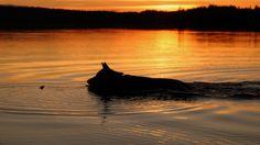 Night Swim of a dog, Lahti, Finland Marika Veijalainen /Kesäkuvat/yle.fi