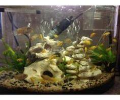 Juwel fish tank with Stand for sale Aquarium Fish For Sale, Fish Tank Stand, Chicken, Food, Essen, Meals, Yemek, Eten, Cubs
