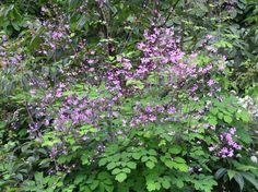 Thalictrum rochebrunianum (meadow rue)