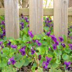 Violettes en plante recouvrante