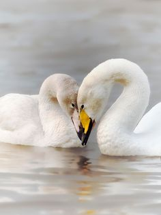 Mother and Child - I was touched by the signs of affection between a female whooper swan and one of its juvenile chicks. The youngster was old enough to successfully migrate with its parents and siblings from Iceland back to the UK this winter. It is wonderful to see these beautiful birds 'greeting' each other with their characteristic movements of head and neck and, obviously, showing affection for members of their own family.