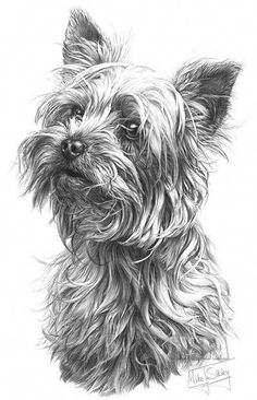 'Yorkshire Terrier' print from graphite pencil drawing by Mike Sibley. 'Yorkshire Terrier' print from graphite pencil drawing by Mike Sibley. Silky Terrier, Yorshire Terrier, Bull Terriers, Rottweiler Puppies, Lab Puppies, Dalmatian Puppies, Yorkshire Terrier Puppies, Yorkie Puppy, Dog Behavior