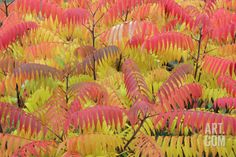 Stag'S-Horn Sumac Leaves Showing Autumn Colour Photographic Print at Art.com