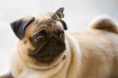 Pug and butterfly.  Wasn't that a Heart song?