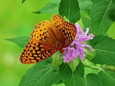 Fritillary Butterfly is on purple Bee Balm with green all around on a Summer day after the rain at MTBobbins Daylilies in Winchester, New Hampshire.