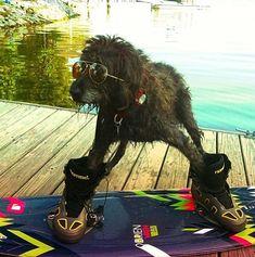 Wakeboarding dog