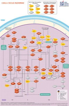 Aviva Systems Biology - Cell Cycle Pathway