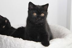 #British #black #shorthair #cat | https://starfall.lt