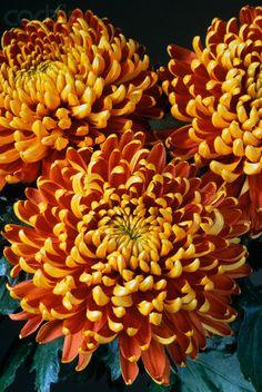 Tom Pearce chrysanthemum... Zinnias, Chrysanthemums, Shade Plants, Begonia, Autumn Inspiration, Shade Garden, Garden Styles, Garden Beds, Shrubs
