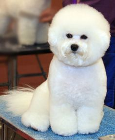 Pure bred Bichon Frise!  I grew up with one and they are amazing dogs.