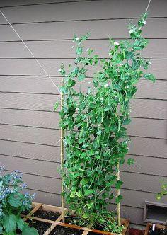peas, garden, container, small,
