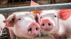 It's standard practice to dose farm animals with antibiotics to increase their size. But a new study finds that doesn't actually work.