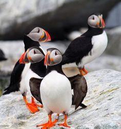 Familia de #Puffins #Islandia