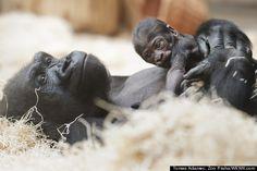 Baby Gorilla celebrated at the Prague Zoo