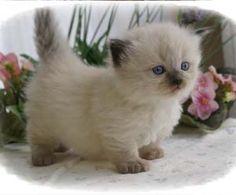 """Munchkin"" Kitten! Plz mom? Jane needs a fwend!! <3"