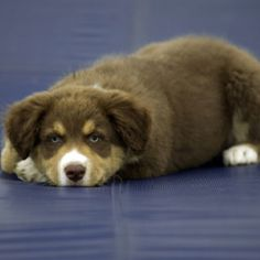 Australian Shepherd..........................I think that's what Kaylee must have looked like as a puppy.