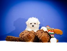 If you want to adopt a cute Maltese puppy, here you can find the sweetest Maltese puppies. Affordable Pup has Maltese puppies for adoption in Columbus, Cincinnati, Dayton, Toledo, Cleveland, Akron, Canton, Youngstown Ohio.