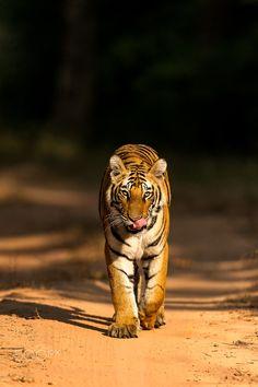 Shadow to light Headon - Tigress Tiger Photography, Animals And Pets, Cute Animals, Serious Cat, Jaguar, Tiger Wallpaper, Cat Species, Tiger Art, Lion