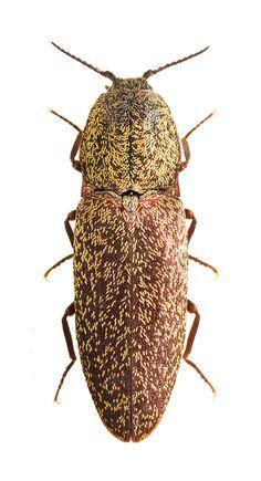 Lacon lepidopterus (