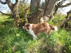 Kory, our border collie