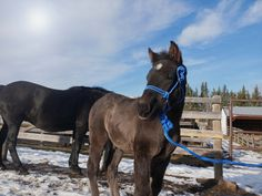 Blain Beaumont Emcee - fist foal out of our new stallion -  BECKETT'S CREEK CALYPSO FERARI bloodlines Canadian Horse, Black Canadians, Horses For Sale, Ranch, Guest Ranch