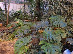 Costilla de Adán (Philodendron pertusum o Monstera deliciosa) http://www.elhogarnatural.com/fichas%20A/AZ%20fichas/FichasdesdeAbeliaaAztekium.htm