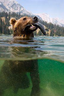 Photo by Steve Bloom Steve Bloom, Brown Bear, Wildlife Photography, Beautiful Creatures, Photo Library, Animal Kingdom, Photo S, Bears, Photographers