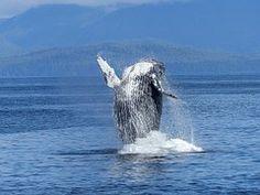 I love watching whales!! they are beautiful!! #amazinganimals #iboatsdotcom #animals