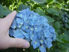 """Kelly placed her order for her wedding flowers today...3-06 She said, """"Hi Jim-, I think I would like to order the 80 count hydrangea box. I am thinking between the light and medium blue color. Could you send me a picture of each. I understand it may not be the exact color.Thank you so much for your help! Again my wedding date is Friday, July 25, 2014. - Kelly"""