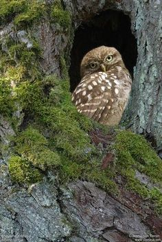 faerieforests: Little Owl - Athene noctua by Jean-Louis Corsin Owl Photos, Owl Pictures, Beautiful Owl, Animals Beautiful, Animals And Pets, Cute Animals, Little Owl, Owl Bird, Tier Fotos