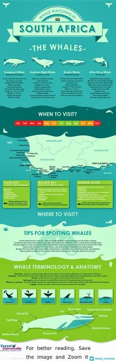 South Africa Whale Watching Infographic - Information about Whale Watching Infographic. An Infographic for Whale Watching in South Africa - Get all . Chobe National Park, Cape Town South Africa, Durban South Africa, South Afrika, Whale Watching, African Safari, Africa Travel, Travel Guides, Travel Tips