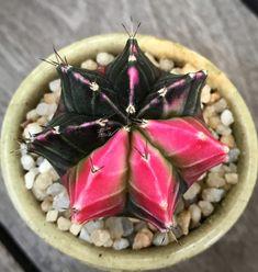 Cacti, Cactus Plants, Desert Plants, Succulents, Success, Garden, Plants, Garten, Succulent Plants