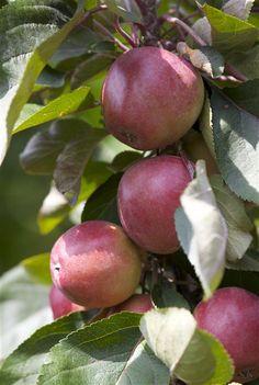 Ett nyplanterat äppelträd måste du beskära för bygga upp en stadig och vacker krona. Det gäller även övriga fruktträd som du planterar, men är inte så svårt som du tror och med några enkla tumregler så klarar du dig långt!