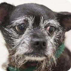 Pictures of Chichi a Chihuahua/Terrier (Unknown Type, Small) Mix for adoption in Venice, FL who needs a loving home. Chichi is a 14yr. old female available at True & Faithful Pet Rescue Mission.