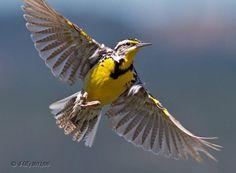 western meadowlark tattoo - Google Search